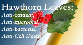 Amelia Chiropractic Clinic presents new research regarding the flavonoids of the hawthorn tree leaves' extract that are antioxidant, antibacterial, antimicrobial and anti-cell death.